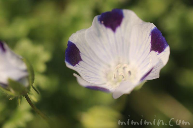 ネモフィラ マクラタの花の画像