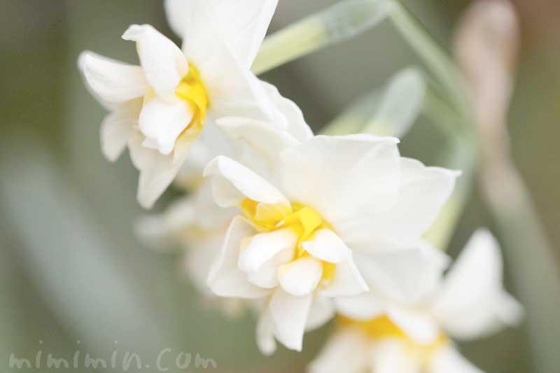 水仙の花言葉と名前の由来