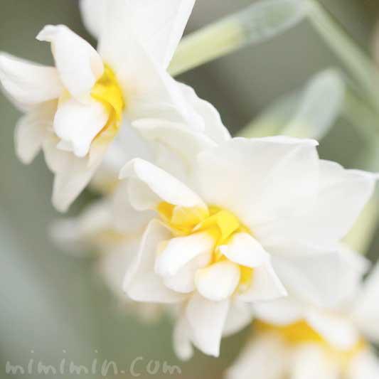 水仙の花の写真・花言葉・名前の由来の画像