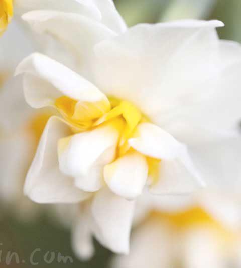 スイセン(水仙)の花言葉・名前の由来