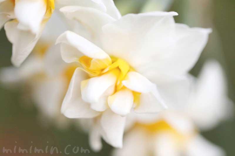 スイセンの花言葉と名前の由来