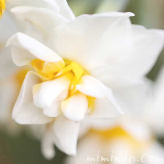 水仙の花言葉・名前の由来の写真