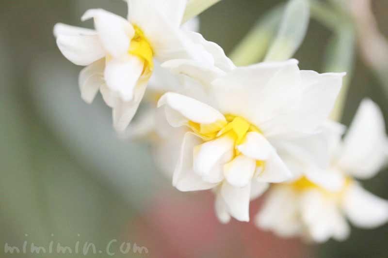 スイセンの花言葉・名前の由来の画像