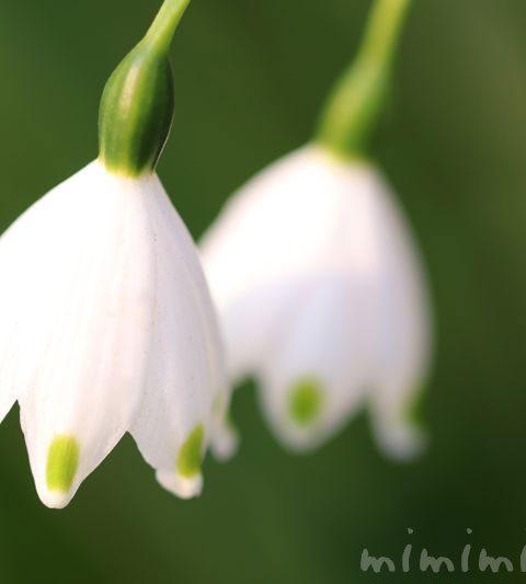 スノーフレークの花の写真・花言葉・名前の由来