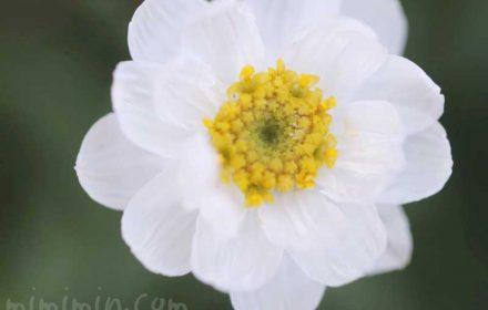 ハナカンザシのの写真と花言葉の画像