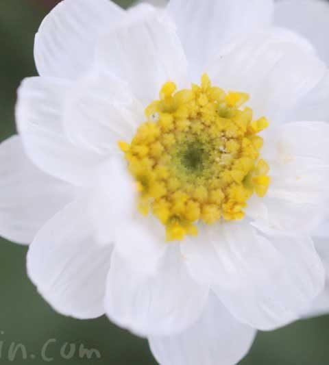 ハナカンザシの花言葉・名前の由来・誕生花