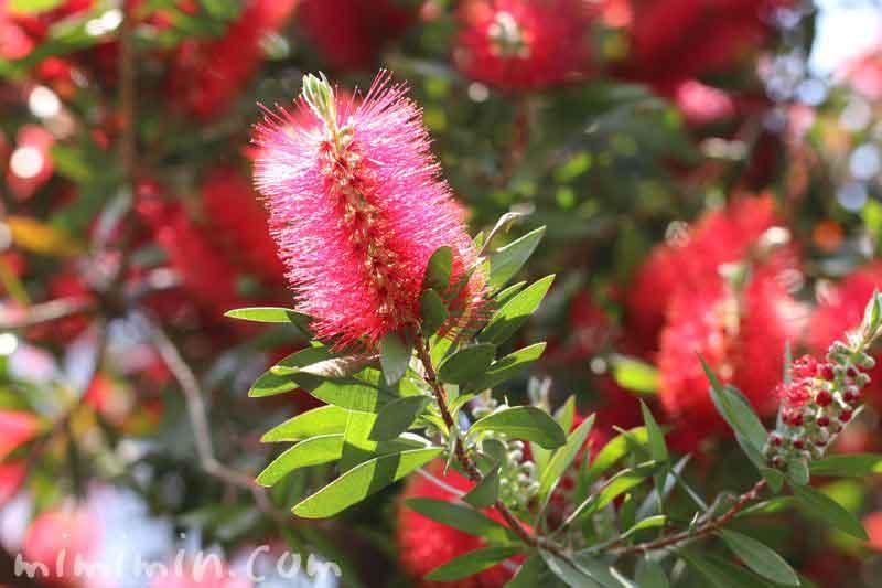 ブラシノキの花の画像