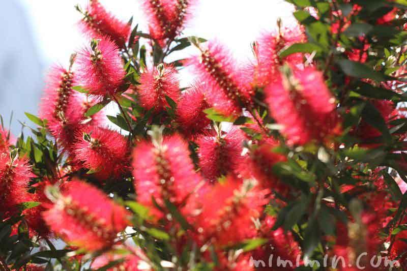 ブラシの木の花の画像