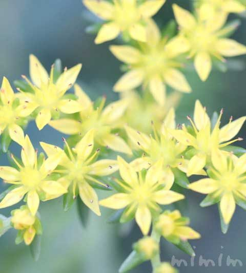 セダム(星のような黄色い花)|花の写真&花言葉