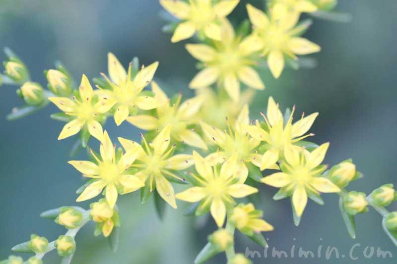 マンネングサの写真と花言葉の画像