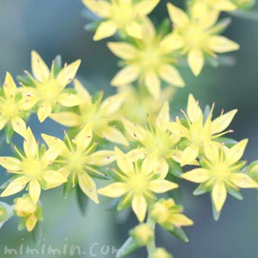 セダムの花の写真と花言葉