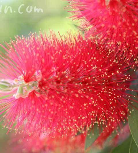 ブラシの木(ブラシノキ)の花の写真・花言葉・名前の由来