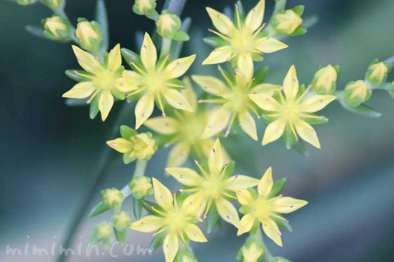 セダムの写真と花言葉の画像