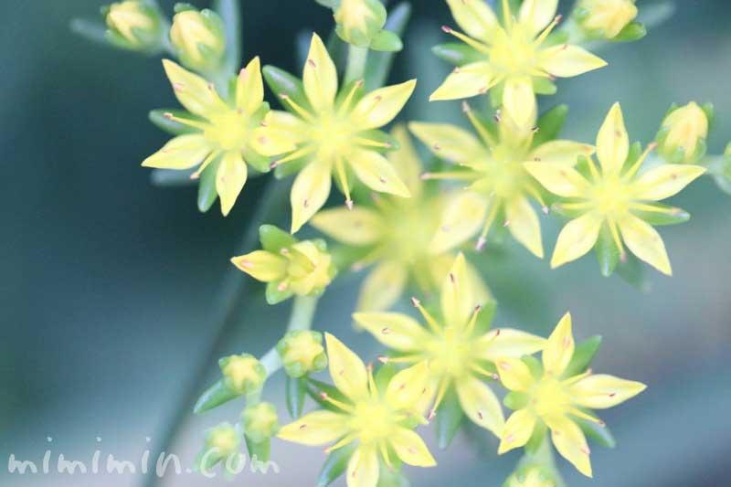 セダムの花の写真と花言葉の画像