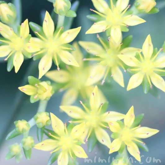 マンネングサの写真と花言葉