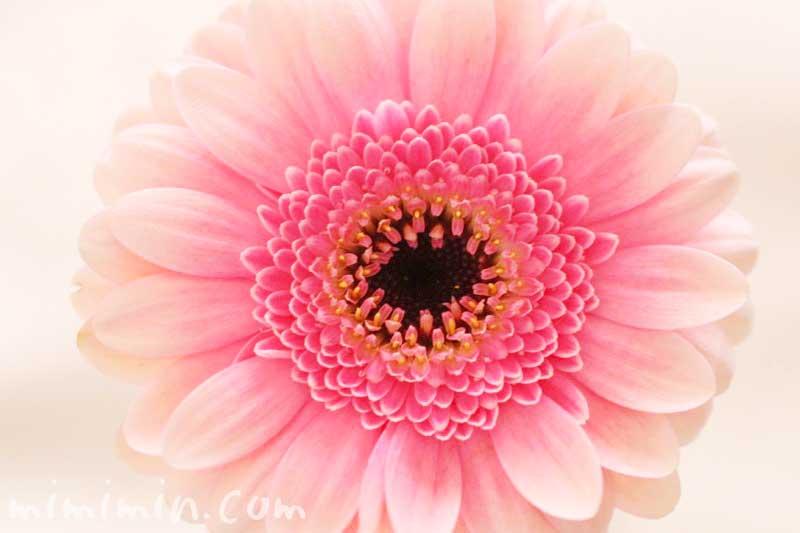 ガーベラの花言葉・ガーベラの写真の画像