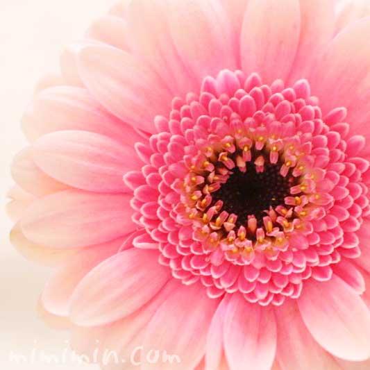 ガーベラの花言葉・ピンクの八重咲きのガーベラの写真の画像