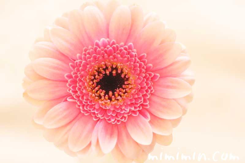 ガーベラの花言葉・ガーベラの花の写真の画像