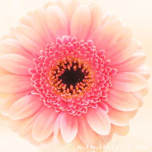 ガーベラの花言葉・ピンクの八重咲きのガーベラの花の写真の画像