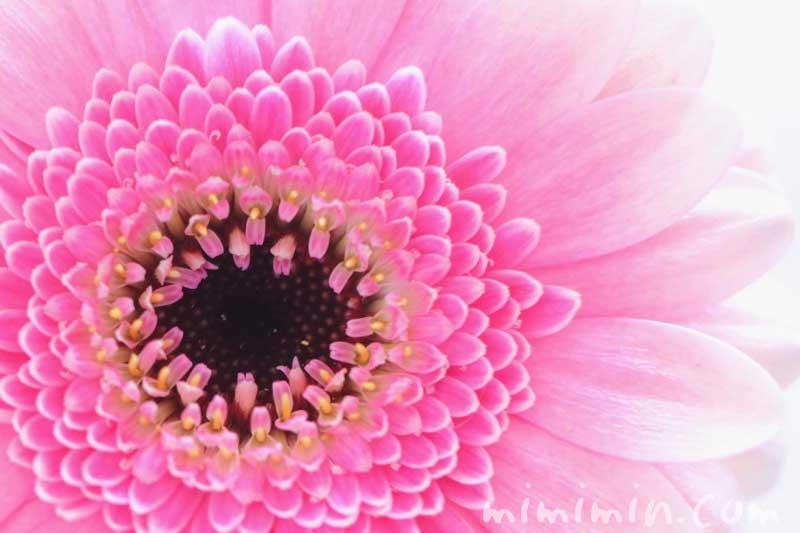 ガーベラの花・八重咲きピンクの写真