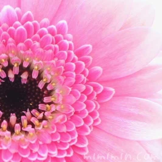 ガーベラの花言葉・ピンクのガーベラの花の写真の画像