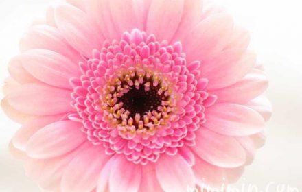 ガーベラ・八重咲きピンクの画像