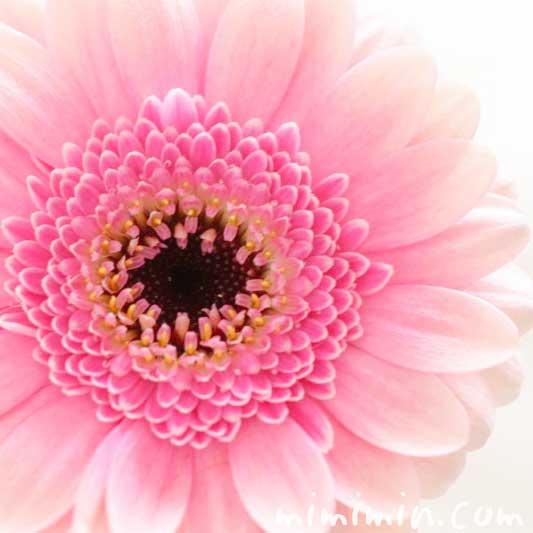 ガーベラの花言葉・ピンクのガーベラの写真の画像