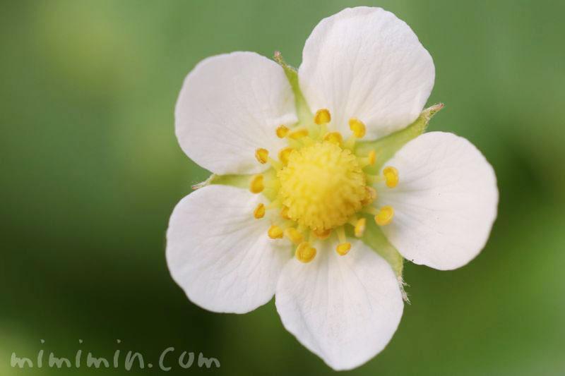 イチゴの花・白