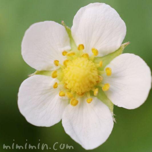 イチゴの花の画像