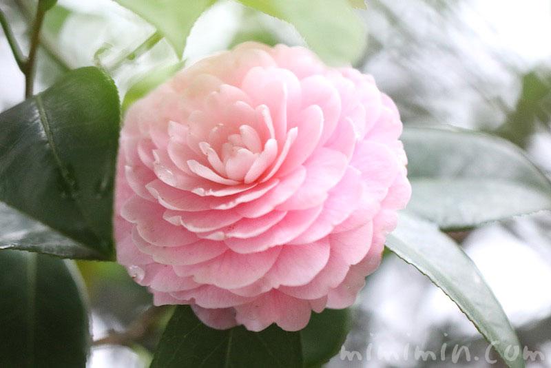 ツバキ(八重咲き・千重咲きの乙女椿)と花言葉の写真