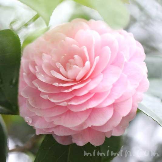ツバキ(八重咲き・千重咲きの乙女椿)と花言葉