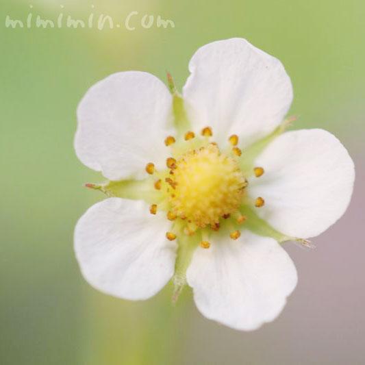 イチゴの花・白の写真