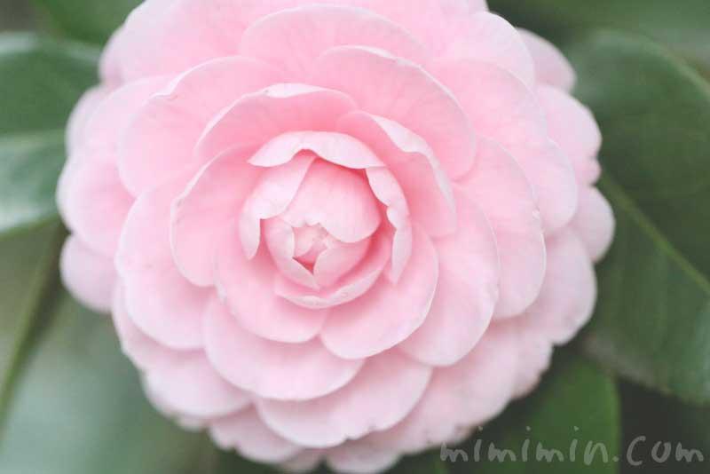 ツバキの花(八重咲き・千重咲きの乙女椿)ピンク色の画像