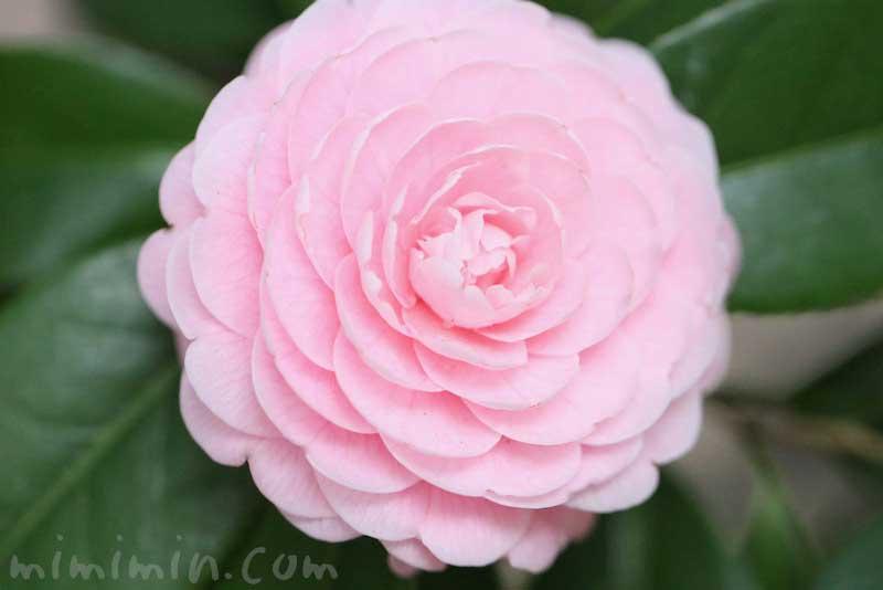 ツバキの花(八重咲き・千重咲きの乙女椿)と花言葉
