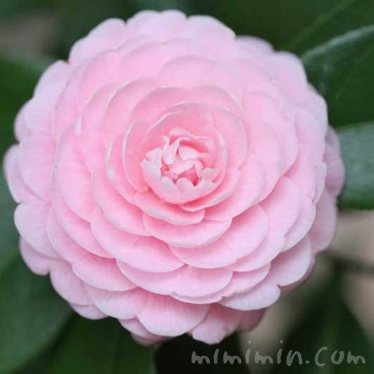 ツバキの花(八重咲き・千重咲きの乙女椿)ピンク色