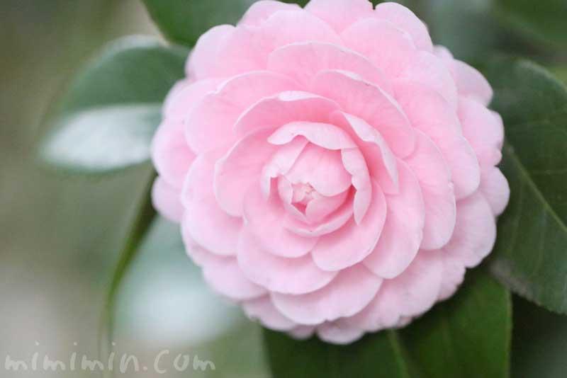 ツバキの花(八重咲き・千重咲きの乙女椿)と花言葉の画像