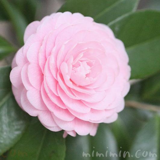ツバキ(八重咲き・千重咲きの乙女椿)ピンク