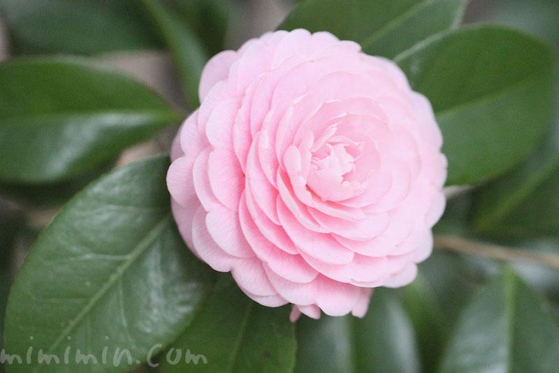ツバキ(八重咲き・千重咲きの乙女椿)ピンク色の画像