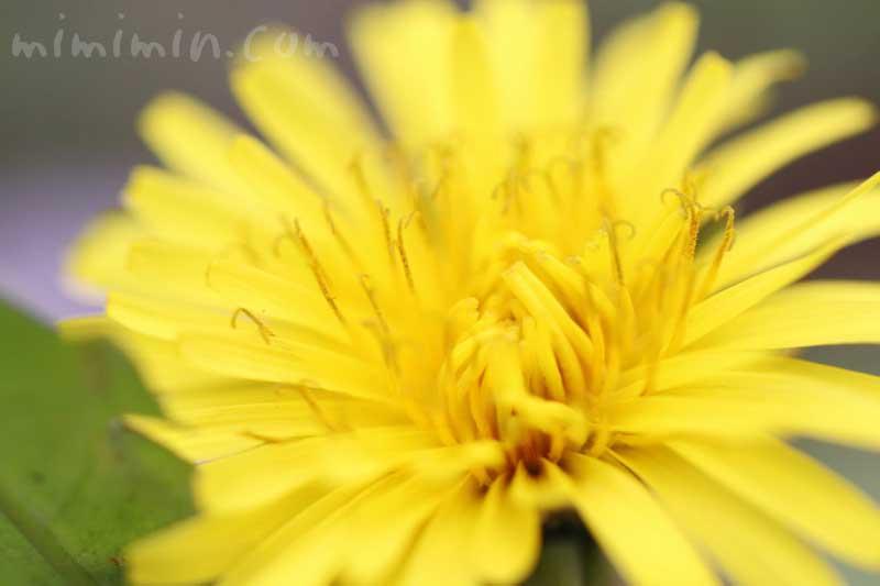 タンポポの写真と花言葉