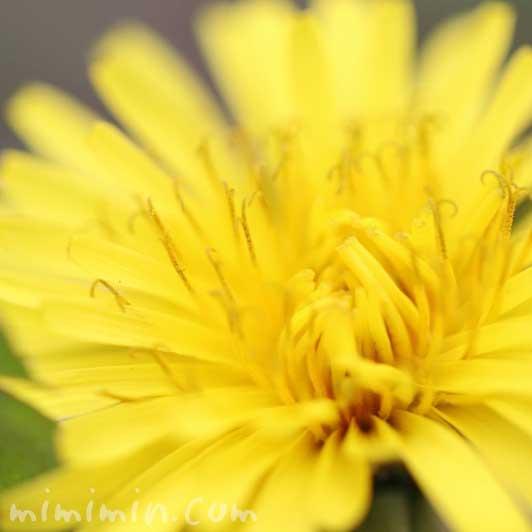 タンポポの写真と花言葉の画像