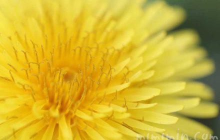 たんぽぽの写真・誕生花の画像