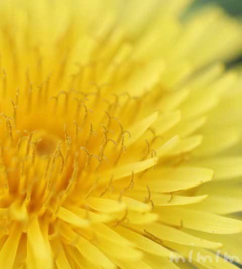 タンポポ(たんぽぽ)の花の写真・花言葉・名前の由来