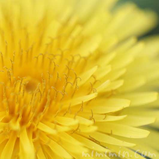蒲公英の花の写真・花言葉