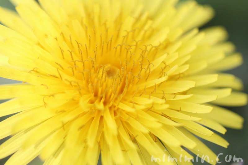 蒲公英の花の写真・花言葉の画像