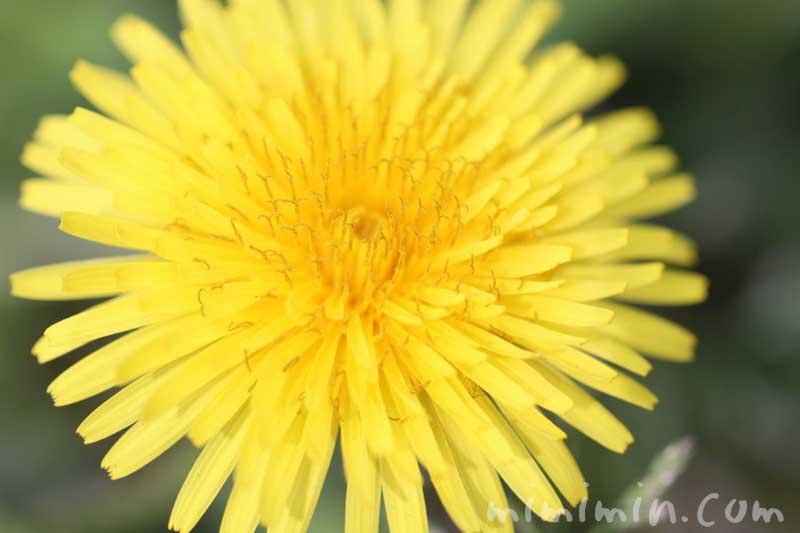 タンポポの花の写真と花言葉の画像
