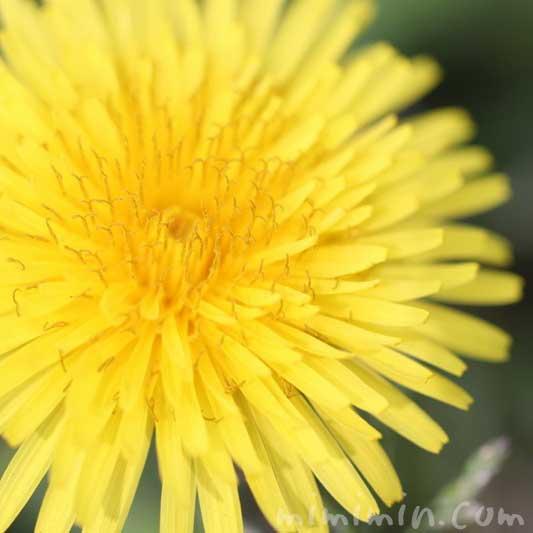 タンポポの花の写真と花言葉