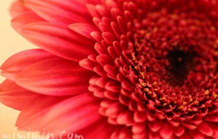 ガーベラの花・八重咲き・赤色の画像