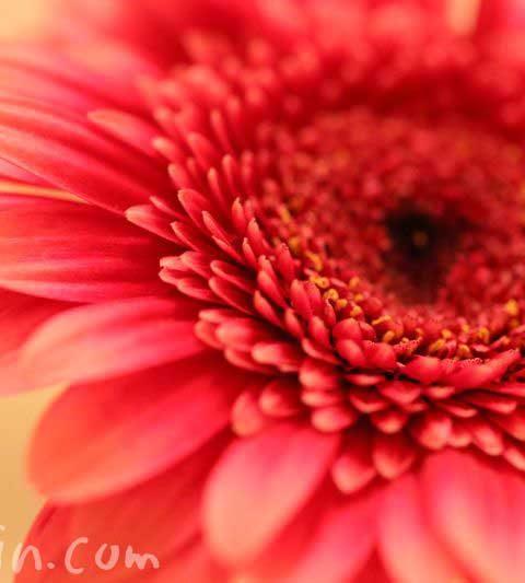 ガーベラの花言葉・誕生花