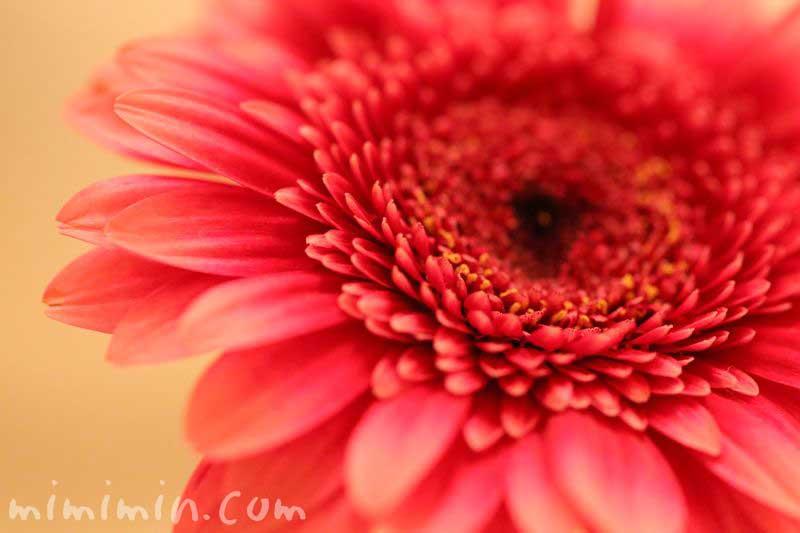 八重咲きのガーベラの花の画像