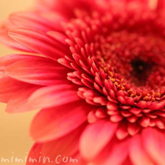 ガーベラの誕生花の写真